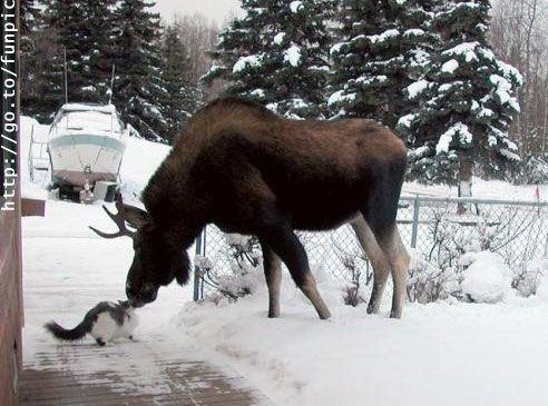 Cat-moose