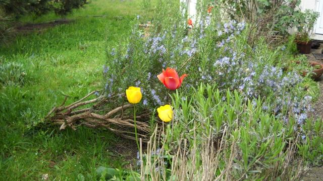 Tulips and Rosemary